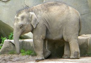 Beco, a 1 year old male Asian Elephant (elephas maximus), born in captivity 2009-03-27. Photographed at the Columbus Zoo, Powell, Ohio, United States on May 21, 2010. Author: Shell Kinney. Source: Wikimedia Commons