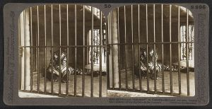 Tiger in captivity in Calcutta in 1903. (Source wikimedia commons: Underwood Travel Library: Stereoscopic Views of India. British Library.)
