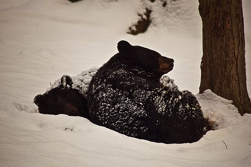 512px-Black-bears-winter-snow-sleeping-cuddled-together_-_West_Virginia_-_ForestWander