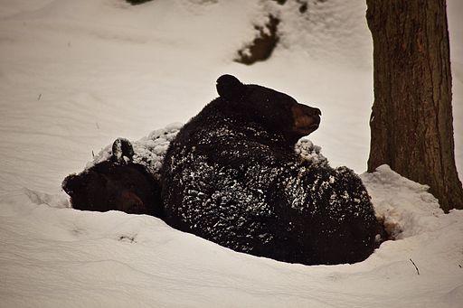 512px-Black-bears-winter-snow-sleeping-cuddled-together_-_West_Virginia_-_ForestWander